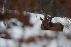 Deer (Norbert Králik) Tags: winter bokeh deer canonef300mmf4lisusm canonefextender14xii canoneos40d