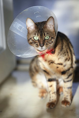 bengal cat with funnel (pilapix) Tags: cat kitty spotted collar bengal sunbeam funnel elisabethancollar