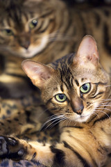 bengal cat sisters looking suspicious (pilapix) Tags: two cats cute cat nose paw eyes kitty whiskers spotted bengal suspicious