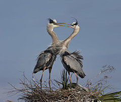 GBH Pair Bonding (J Gilbert) Tags: memorial florida greatblueheron bonding courtship ardeaherodias grandhron specanimal vierawetlands ritchgrissom
