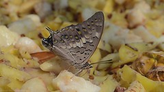 Butterfly Diaries - Movie Teaser ( Rizwan Mithawala) Tags: winter india black flower macro beauty fruit butterfly insect video nikon kevin tiger insects micro bombay third nectar maharashtra nikkor mumbai plain rajah commander diaries mov export 1080p macleod cs6 premierepro tawnycoaster d5100 hdslr