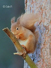 Red Squirrel (Sciurus vulgaris) (Col-page) Tags: