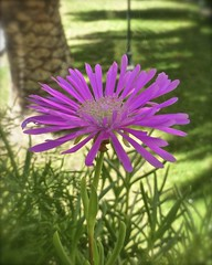 The last flower of summer in my planter (alobos Life) Tags: chile santiago summer flower de flor jardinera