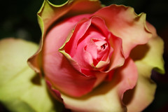 Rose (gambit03) Tags: flower rose petal bloom blume virg bltenblatt blumenblatt rzsa virgszirom