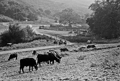 Cattle Roundup (ConejoThruTheLens) Tags: cattle langranch conejothroughthelens