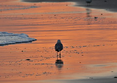 A Walk On the Beach (HorsePunchKid) Tags: taxonomy:class=aves taxonomy:kingdom=animalia taxonomy:phylum=chordata taxonomy:family=laridae taxonomy:order=charadriiformes taxonomy:claderoot=animalia clade:Animalia=chordata clade:Chordata=aves taxonomy:common=gullsandallies taxonomy:eolid=8001 clade:Aves=charadriiformes clade:Charadriiformes=laridae