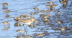 Black-bellied Plover (non-breeding adult) with Least Sandpipers (Beedie's Photos) Tags: nature wildlife sandpiper least plover semipalmated beediesavage