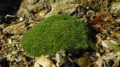 Eremogone hookeri var. hookeri 100_0380 (sierrarainshadow) Tags: var arenaria syn hookeri desertorum eremogone