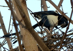elster 2 (Popkontext) Tags: nest vgel elster europeanmagpies