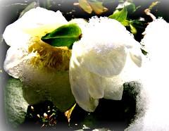 Winter is back , 64-39 (roba66) Tags: park schnee winter plants snow flores flower texture ice nature fleur garden flora blossom natur flor pflanzen jardin blumen neige blume garten bloem blten flori textur effecte naturalezza roba66 dhiver