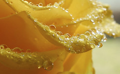 water droplets on rose petals March 2013 (Elisafox22) Tags: macro water sunshine rose yellow droplets petals sony rx100