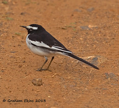 White-browed Wagtail, Motacilla maderaspatensis, (Graham Ekins) Tags: india bird wildlife rajasthan resident passerine motacillamaderaspatensis whitebrowedwagtail isaf sawaimadhopur motacillamadaraspatensis canon400mmf4 canon1dmkiv grahamekins ranthambhorereserve pugmarkslodge ah9k9139