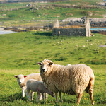 "Bunowen Sheep <a style=""margin-left:10px; font-size:0.8em;"" href=""http://www.flickr.com/photos/89335711@N00/8595033203/"" target=""_blank"">@flickr</a>"