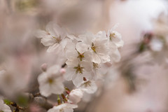 Dreams from Above (moaan) Tags: life spring dof blossom bokeh dream dreaming utata cherryblossom sakura blossoming sprung 2013 inlife canoneos5dmarkiii ef70200mmisiiusm