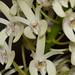 Den. speciosum v. curvicaule – Anita Spencer