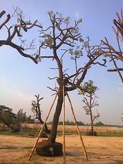 ต้นพะยอม9