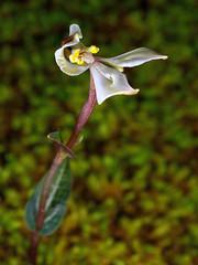 DisperisFH2_0811 20130328 1141 tripetaloïdes (evideerf2002) Tags: flower nature fleur réunion situ wildorchid orchidéesauvage disperis