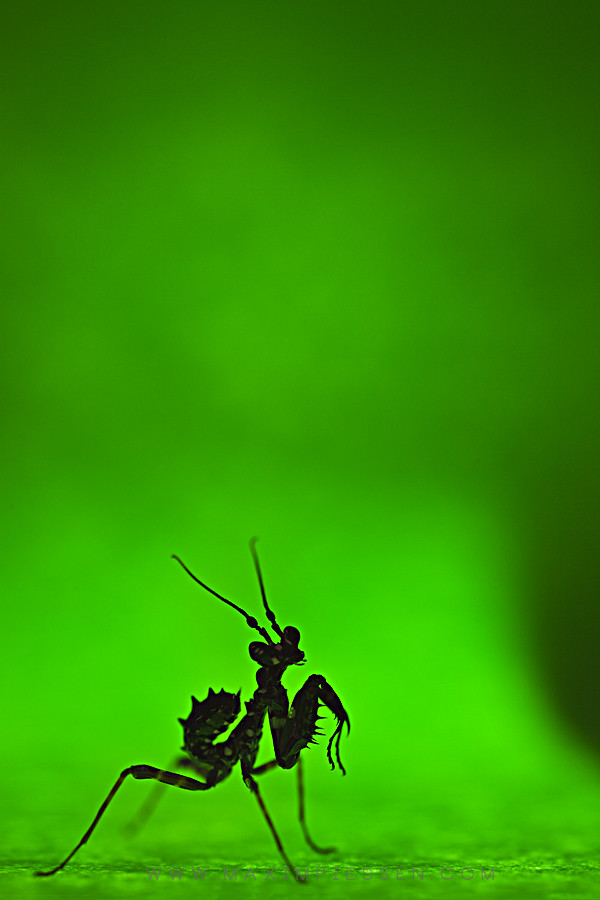 praying mantis research paper Praying mantises willing to wear 3d glasses and sit through bizarre, abstract movies have revealed a new way of seeing the world in three dimensions the findings could help improve machine vision.