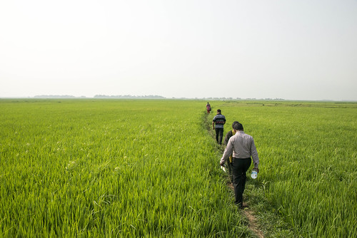 Rice field in Sunamganj, Bangladesh. Photo by Finn Thilsted, 2013.