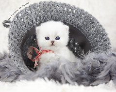 Les Persans de Fannie (Les Persans De Fannie) Tags: cats pets cat persian chats kitten chat crochet chinchilla chapeau animaux fannie chaton laine chatons persan