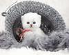Les Persans de Fannie (Les Persans De Fannie) Tags: cats pets cat persian chats kitten chat crochet chinchilla chapeau animaux fannie chaton laine chatons persan