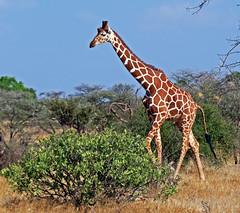 Reticulated Giraffe (TonyKRO) Tags: trees nature kenya wildlife bluesky safari giraffe reticulatedgiraffe samburunationalpark