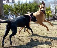 Dancing doggie duo (karen&2mutts) Tags: sunny marcy mutts playfight playingdogs
