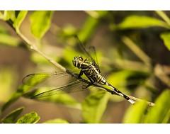 Dragon Fly (akkaramkrishna) Tags: india green home birds forest canon zoo fly flickr hyderabad lr t3i hws 600d 55250 flickraward blinkagain