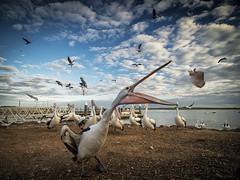 Feeding time (biawak ) Tags: bird beach gull australia pelican d6ccookwerribee