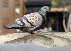 Pigeon88 (GerardSFG) Tags: pigeon thecity 88 sfist thegiants gallerygerard