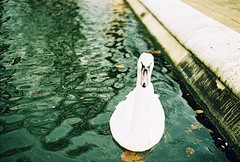 Roll 2 - Curious Swan (Cris Ward) Tags: park camera old city uk orange lake color colour slr bird london film water birds animal animals yellow rollei analog 35mm vintage landscape daylight swan lomo xpro lomography warm cross britain crossprocess grain feather slide retro hyde crossprocessing april hydepark analogue manual noise processed e6 yashica blown colorshift lsi c41 2013 yashicafxd colorreversal cr200 lomolab digibase rolleidigibasecr200