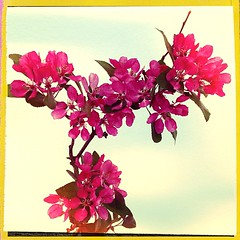 """#pink #blossoms #spring #bloom #flowering #trees • <a style=""""font-size:0.8em;"""" href=""""https://www.flickr.com/photos/61640076@N04/8639774374/"""" target=""""_blank"""">View on Flickr</a>"""