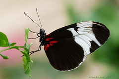 hang on (cre8ive-M(away this weekend)) Tags: ngc npc heliconius luttelgeest passionflowerbutterfly passiebloemvlinder orchideenhoeve vlindervallei