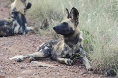 Wild Dog (Craig Pitchers) Tags: africa wild animals fauna southafrica nikon northwest veld madikwe 70200mm wilddog tc17e nikontc17eii nikon70200mmf28 d7000 nikond7000