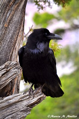 The Messenger (MarciaMuellerPhotography) Tags: corvuscorax commonraven gc2may2011