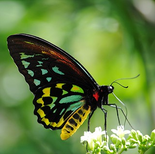 Stained glass wings of Ornithoptera priamus or Common Green Birdwing on Chaya