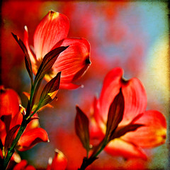 mercy and compassion (1crzqbn) Tags: red sunlight color nature square flora shadows bokeh textures 7d dogwood ie legacy shining  tistheseason vividimagination hbw artdigital trolled bokehwednesday awardtree magicunicornverybest fleursetpaysages exoticimage 1crzqbn quintaflower netartii mercyandcompassion forthepeopleofboston