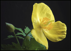Celadine Poppy (ioensis) Tags: macro garden native mo missouri poppy april wildflower webster groves celadine jdl 2013 ioensis 77231b