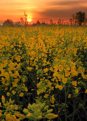 First light in yellow hues (Robyn Hooz) Tags: flowers field yellow sunrise canon eos is campo stm fiori efs colza gialli 18135 550d