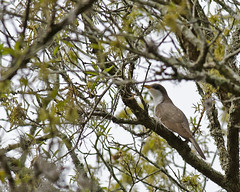 4-13-13 Yellow Billed Cuckoo-Mead (janeswalden) Tags: bird nature yellow gardens mead cuckoo billed