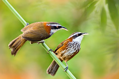 .~ Taiwan Scimitar-babbler ~. (Fu-yi) Tags: color cute bird birds animal minolta bokeh sony taiwan 328 lovely alpha dslr  tones     formosan  pomatorhinusruficollis    timaliidae        newtaipei ntuankangfarm  taiwanscimitarbabbler