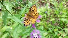 Argynnis (sakarip) Tags: butterfly hopeatpl perhonen sakarip luumki finland summer july forest argynnis animal insect flower phonephoto cellphone samsung