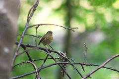 Troglodyte mignon (Mariie76) Tags: animaux oiseaux passereaux troglodyte mignon troglodytes fret branches arbres nature verdure lumire perch petit marron
