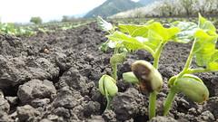 Cultivo de poroto (camunozf) Tags: chile chili campo farm champs cultivo culture poroto frejol tierra brote germinacin brotacin cotiledones hojas hoja agricultura agriculture beans soil sol haricot