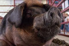 Lugnut (mjlmadison) Tags: iowa desmoines statefair boar animals pig