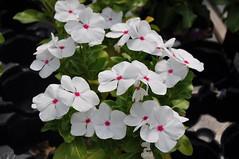 Vinca - cultivar (douneika) Tags: vinca cultivar apocynaceae