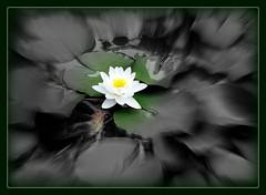 Seerose....... (relibu) Tags: flower blumen blte seerose picasa experiment colorkey