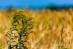 Nature en couleur (MichelGurin) Tags: 2016 amis bl canada exterior extrieur ferme fields lightroomcc michelgurin nature nikon nikon2470 qc qubec champs farm friends wheat t lapocatire ca