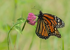 Monarch Butterfly (Henrietta Oke [On/Off] busy) Tags: butterfly insect wings orange monarchbutterfly nature beautiful monarch bokeh macro closeup nikon nikon5300 clover nikonafsnikkor200500mmf56eedvr