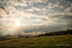 (Sous l'Oeil de Sylvie) Tags: vaches cows troupeau patre ciel sky nuages clouds rayonsdesoleil raysofsun champs field sousloeildesylvie pentax ks2 sigma1020mm findejourne endofday campagne rural ruralit stsverin beauce qubec aout t summer 2016